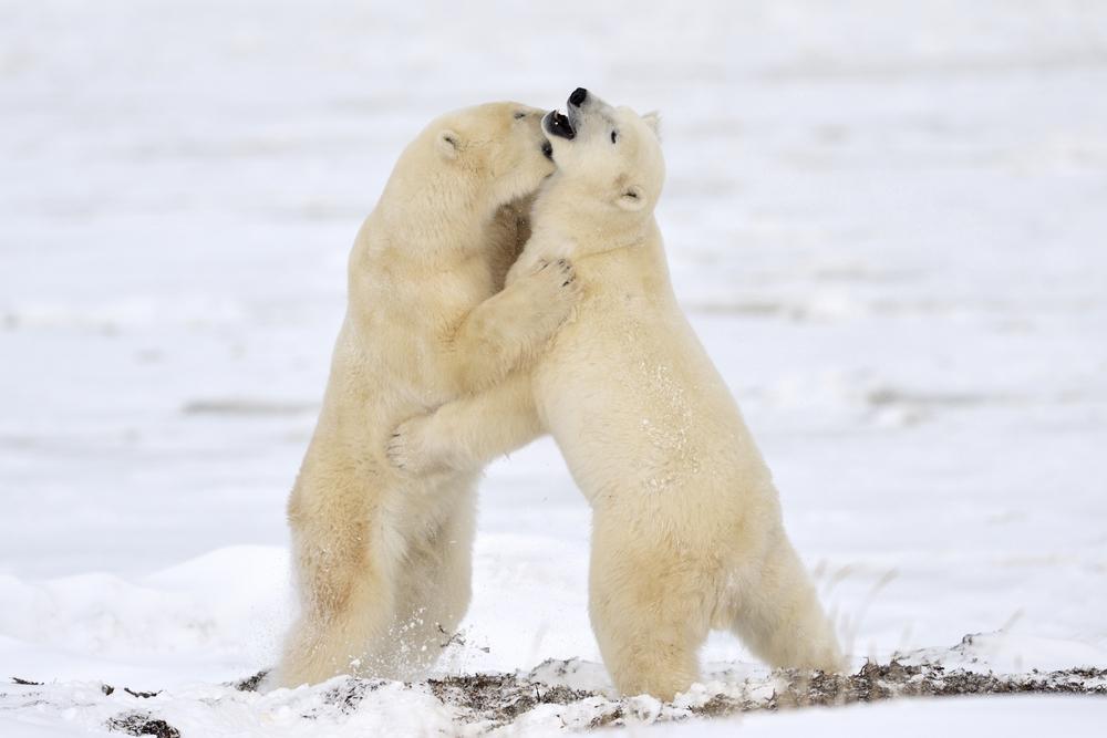 Ursos polares - Crédito foto: AndreNita - shutterstock.com