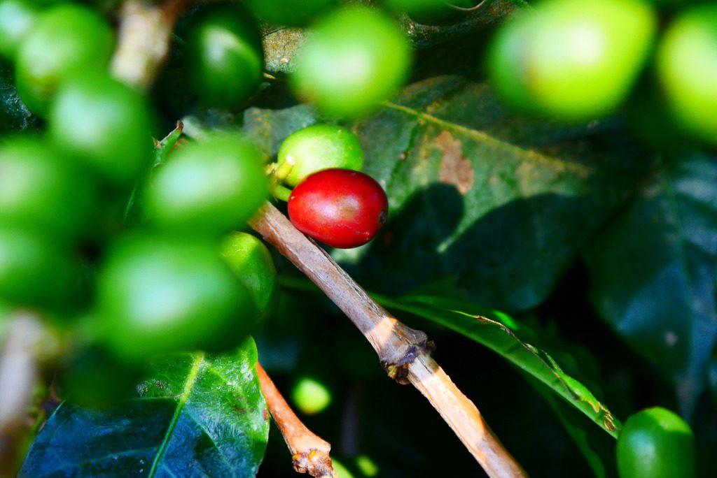 O grão de café bom pra colher é assim, bem vermellhinho.