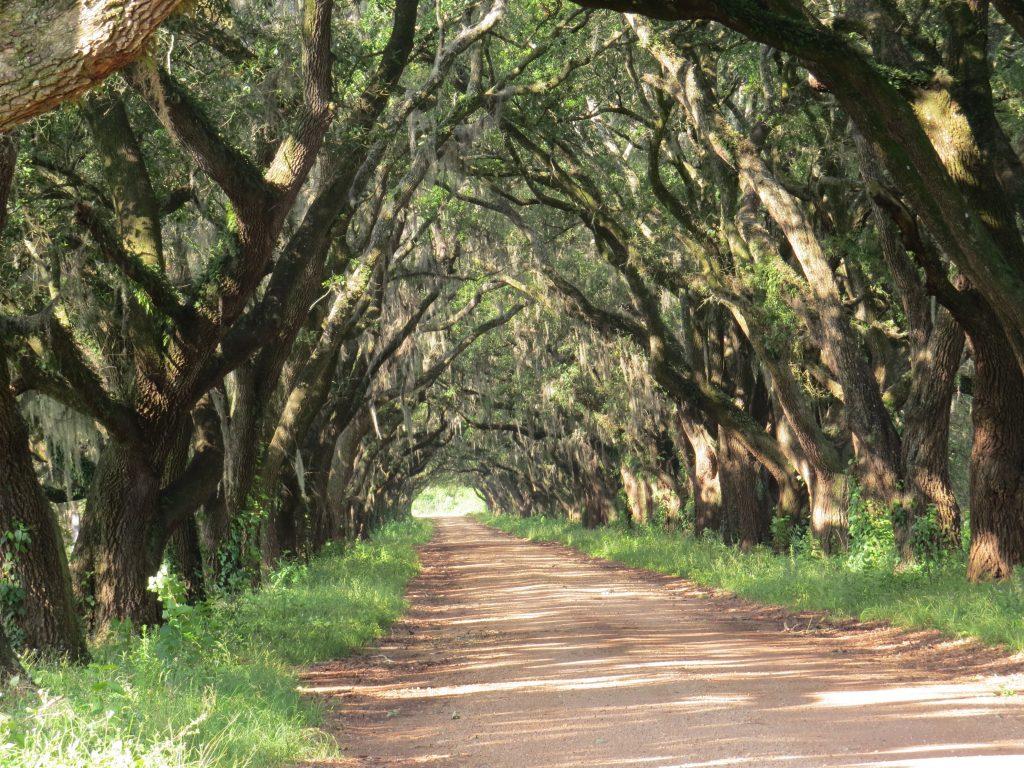 Alameda de carvalhos - Evergreen