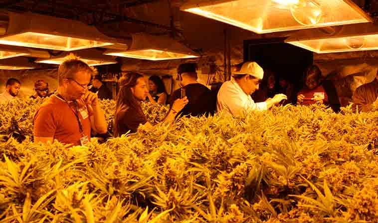 Colorado Cannabis Tour