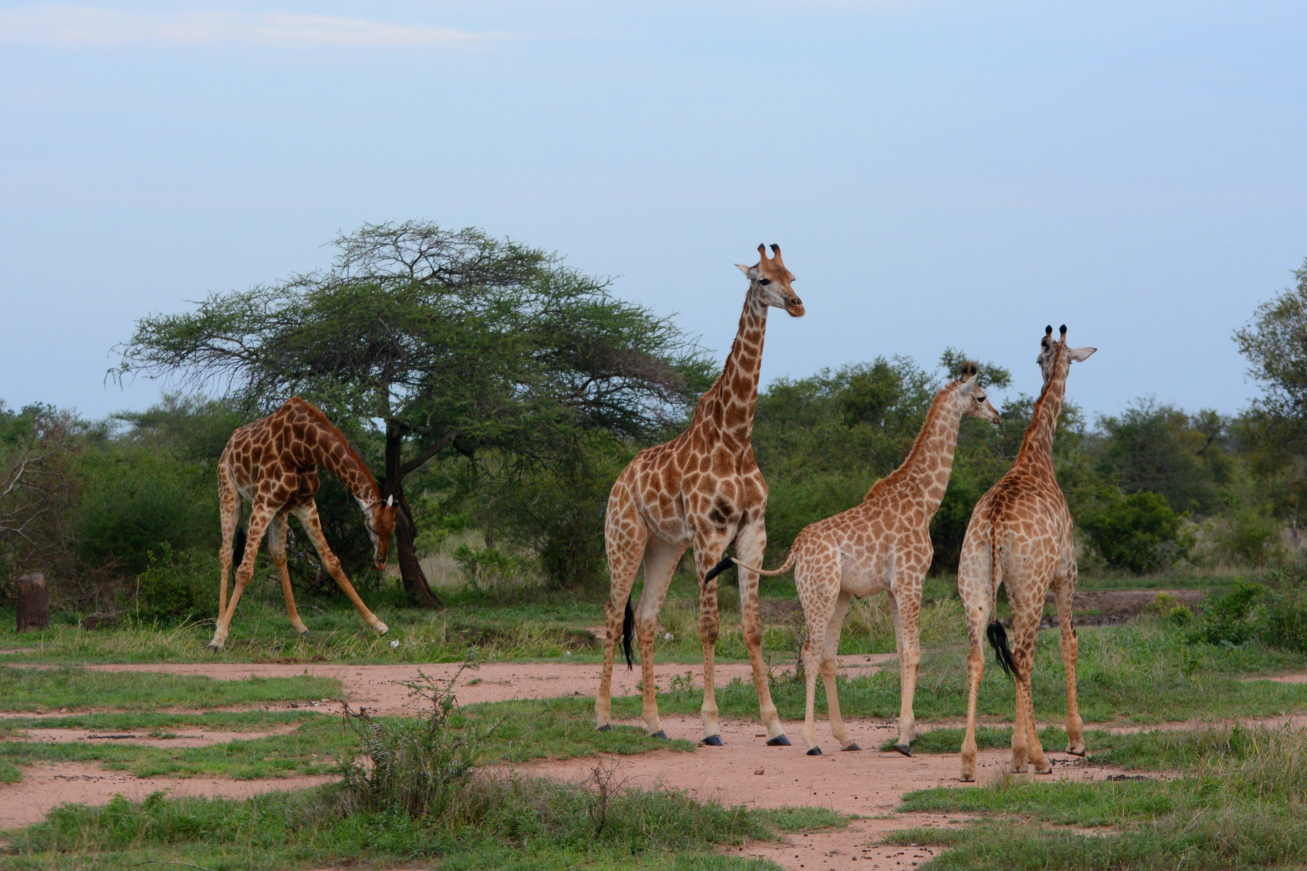 giraffes_in_kruger_national_park_02