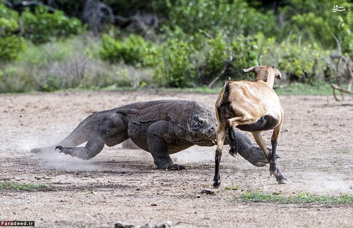 O dragão e a cabra. Foto: Daily Mail