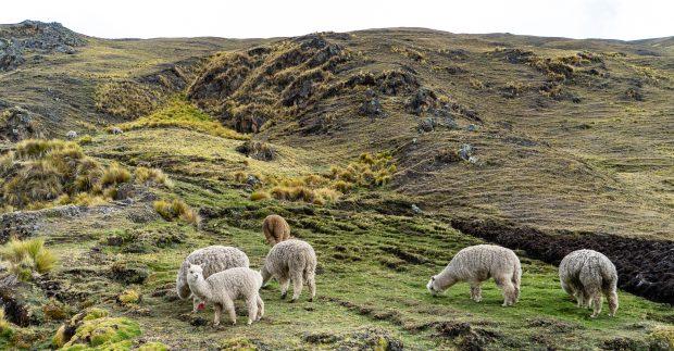 Muitas lhamas na trilha. Peru. Foto: Lalai Persson