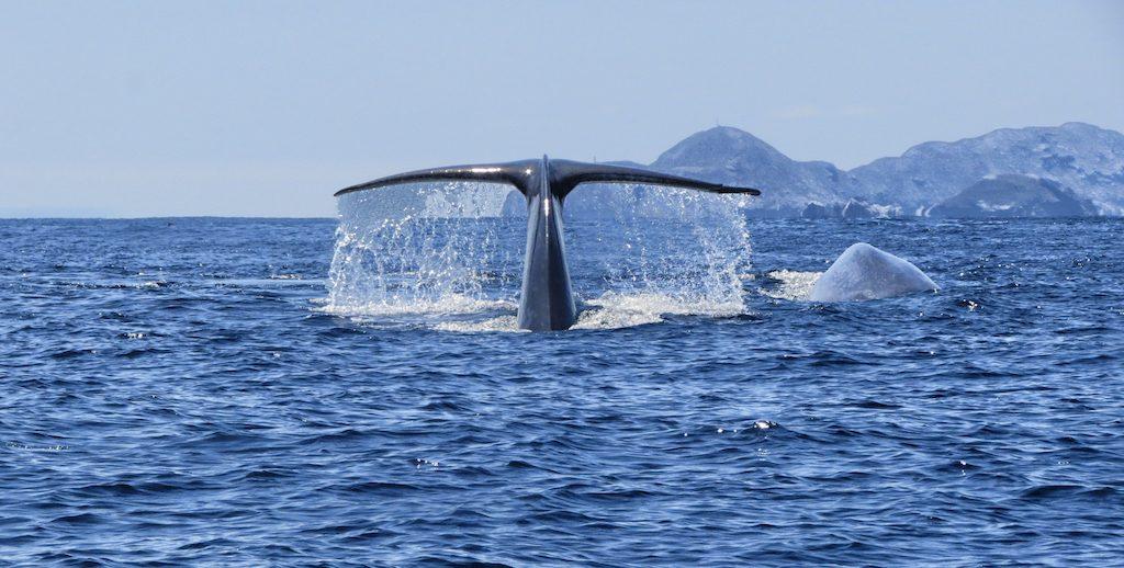 Olha que maravilha: é possível ver baleias em San Diego. Foto: San Diego Whales & Dophins
